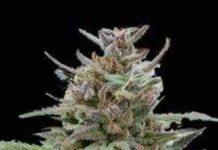 Semilla de Marihuana Auto Blue del Banco Biological Seeds