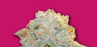 Semilla de Marihuana Bubble Bomb del Banco Bomb Seeds