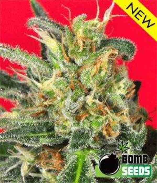 Semilla de Marihuana Cluster Bomb del Banco Bomb Seeds