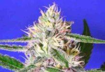 Semilla de Marihuana Edam Bomb del Banco Bomb Seeds