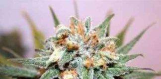 Semilla de Marihuana Hash Bomb del Banco Bomb Seeds