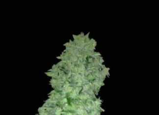 Semilla de Marihuana Auto White Widow del Banco Biological Seeds