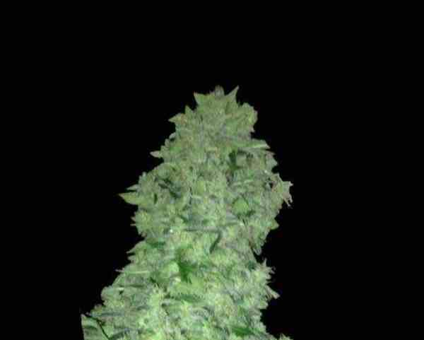 Semilla de Marihuana Auto White Widow del Banco Biological Seeds