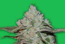 Semilla de Marihuana Atomic del Banco Bomb Seeds