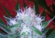 Semilla de Marihuana Auto Bomb del Banco Bomb Seeds