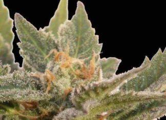 Semilla de Marihuana Auto Critical del Banco Biological Seeds