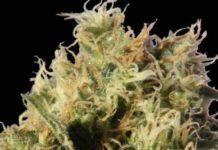 Semilla de Marihuana Auto Maxi del Banco Biological Seeds
