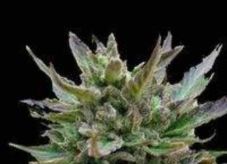 Semilla de Marihuana Auto Skunk del Banco Biological Seeds