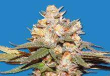 Semilla de Marihuana Berry Bomb Auto del Banco Bomb Seeds