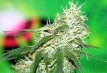 Semilla de Marihuana Buzz Bomb del Banco Bomb Seeds