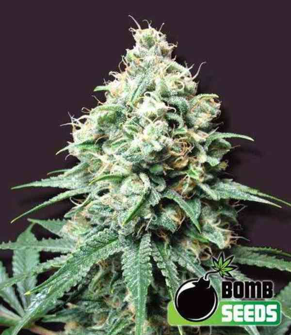 Semilla de Marihuana Kush Bomb del Banco Bomb Seeds