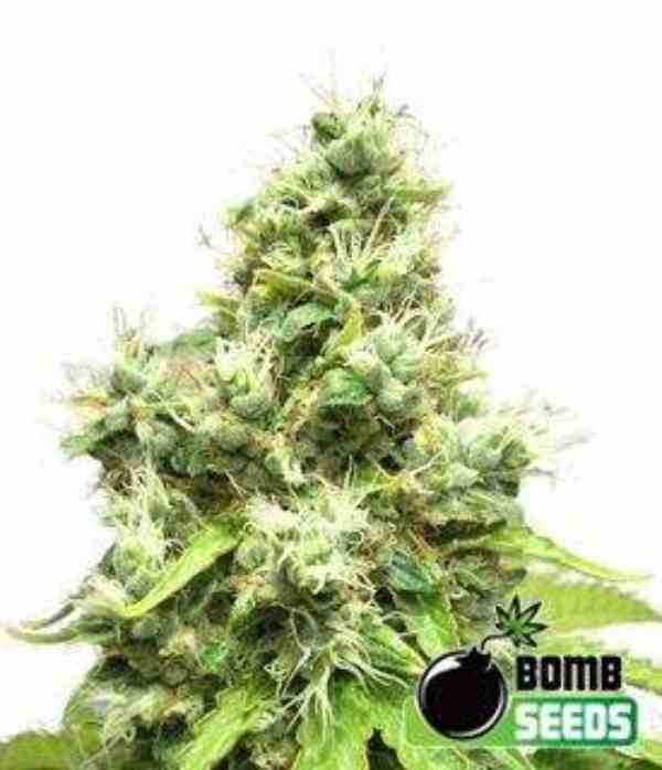 Semilla de Marihuana Medi Bomb #1 del Banco Bomb Seeds