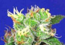 Semilla de Marihuana Medi Bomb #2 del Banco Bomb Seeds