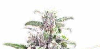 Semilla de Marihuana THC Bomb del Banco Bomb Seeds