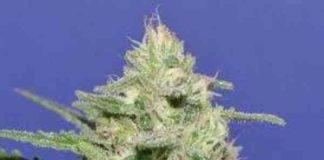Semilla de Marihuana Widow Bomb del Banco Bomb Seeds