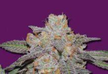 Semilla de Marihuana Cherry Bomb Auto del Banco Bomb Seeds
