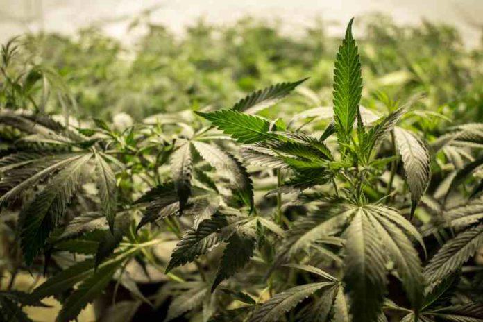 Configurar un Cultivo de Marihuana Eficiente