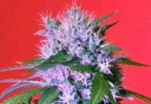 Berry Bomb - Semilla de Marihuana Berry Bomb