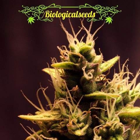 Semilla de Marihuana Pink Doctor CBD del Banco Biological Seeds