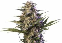 Semilla de Marihuana Buddha Kraken del Banco Buddha Seeds