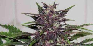 Semilla de Marihuana Buddha Purple Kush del Banco Buddha Seeds