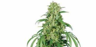 Semilla de Marihuana Calamity Jane Auto del Banco Buddha Seeds