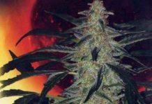 Semilla de Marihuana Deimos Auto del Banco Buddha Seeds