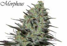 Semilla de Marihuana Morpheus del Banco Buddha Seeds