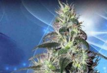 Semilla de Marihuana Pulsar del Banco Buddha Seeds