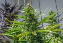Semilla de Marihuana Rosetta Stone del Banco Brothers Grimm Seeds