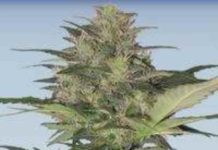 Semilla de Marihuana Red Dwarf del Banco Buddha Seeds