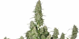 Semilla de Marihuana Magnum del Banco Buddha Seeds