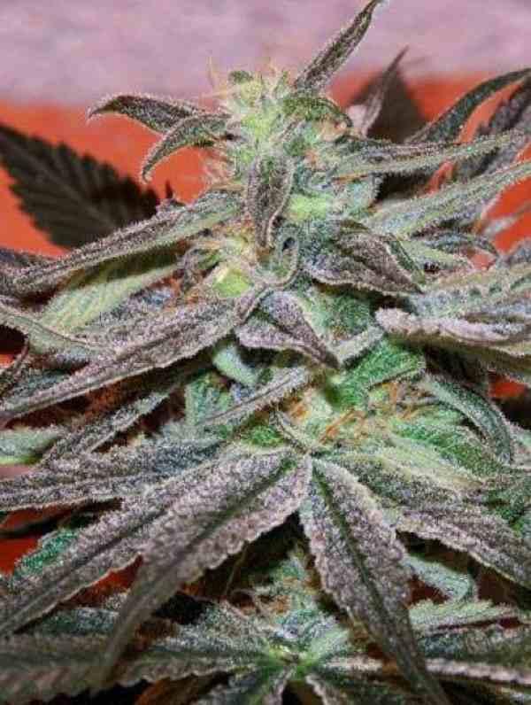 Semilla de Marihuana Panama D.C. del Banco Cannabiogen