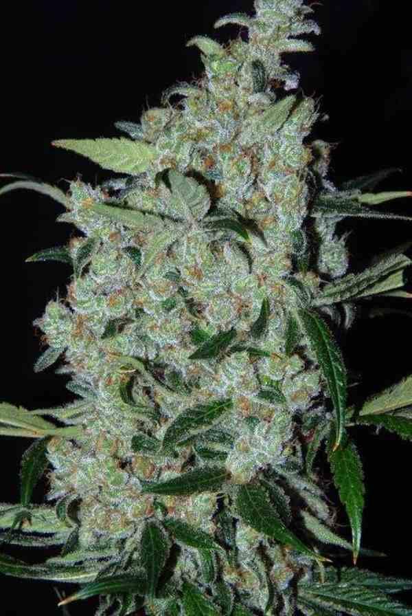 Semilla de Marihuana Purple Mexican del Banco Cannabiogen