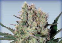 Semilla de Marihuana Syrup del Banco Buddha Seeds