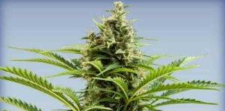 Semilla de Marihuana Vesta Auto del Banco Buddha Seeds