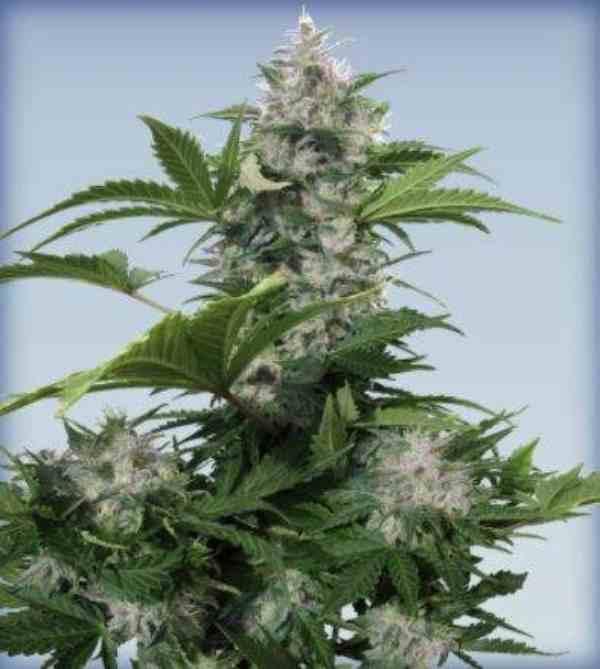 Semilla de Marihuana White Dwarf del Banco Buddha Seeds