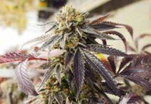 Semilla de Marihuana Sager Bloom Haze F2 del banco Dark Horse Genetics