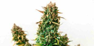 ¿Cual es Mejor la Marihuana de Interior o la Marihuana de Exterior?