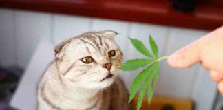 Marihuana y las Mascotas - Marihuana y los Gatos