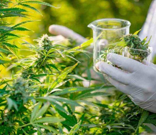 Trabajar con Marihuana, el Trabajo de tus sueños