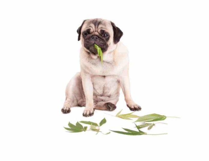 Intoxicación de Marihuana en Perros y Gatos