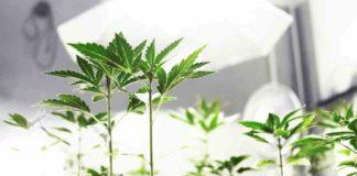 Enzimas y los Microbacterias Beneficiosas para el Cultivo de Marihuana