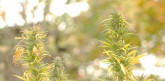 ¿Qué hacer Cuando su Planta de Marihuana se Viene Abajo?