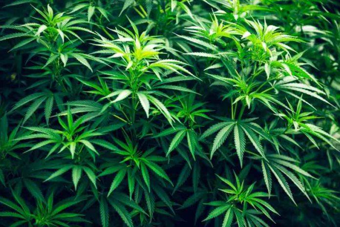 Proteger las Plantas de Marihuana de Ratas y Ratones