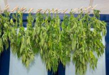 ¿Cómo Realizar bien el Secado y Curado de las Plantas de Marihuana?