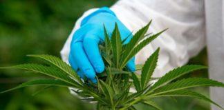 Marihuana 30 veces más Potente que la Aspirina