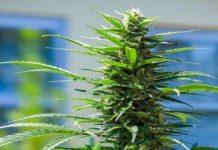 Semilla de Marihuana Rosetta Stone XX del Banco Brothers Grimm Seeds