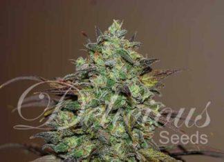 Semilla de Marihuana Eleven Roses del banco Delicious Seeds