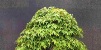 ¿Se Puede hacer un Bonsai con una Planta de Marihuana?